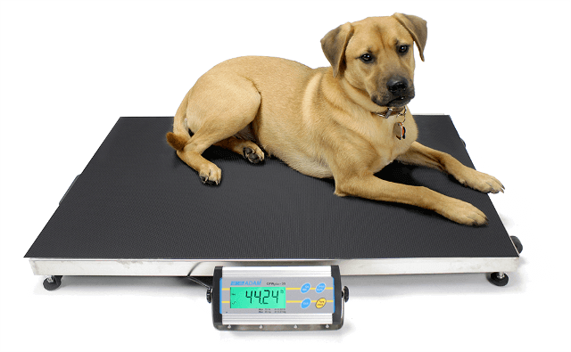 Dog Being Weighed on CPWplus Platform Scales