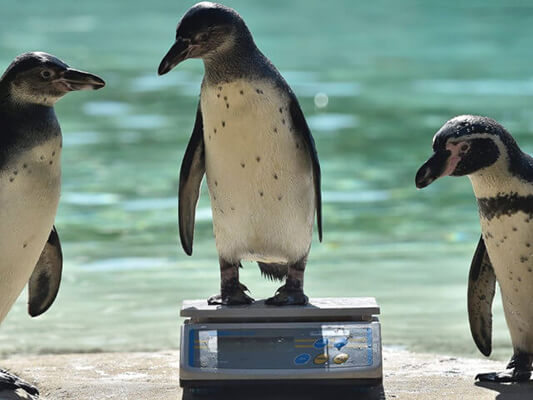 Penguins Being Weighed on Adam Scales