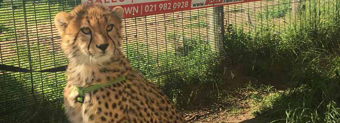 Cheetah Outreach Uses CPWplus Scale to Care for Animals