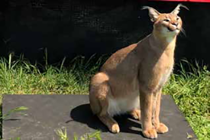 Caracal on CPWPlus
